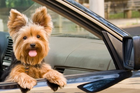 Yorkshire terrier dog in a car window