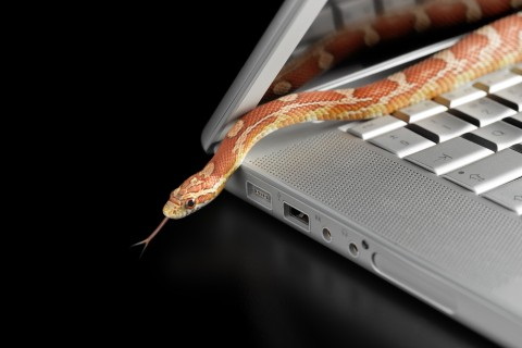Corn snake coming out of laptop computer