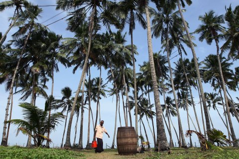 image: A worker carries a toddy pot after collecting the sap from a coconut palm tree in Wadduwa, Sri Lanka, June 11, 2012.